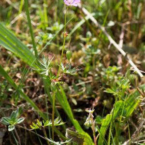 Photographie n°187799 du taxon Geranium columbinum L.