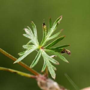 Photographie n°187800 du taxon Geranium columbinum L.