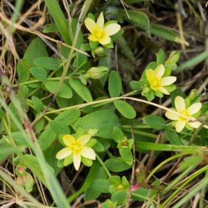 Photographie n°187807 du taxon Hypericum humifusum L. [1753]