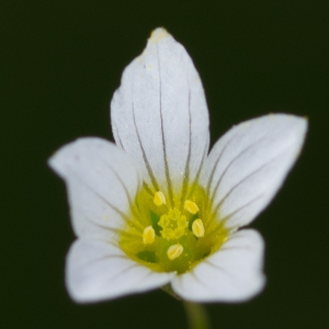 Photographie n°187809 du taxon Linum catharticum L. [1753]