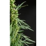 Artemisia biennis Willd. (Armoise bisannuelle)