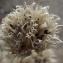 Jean-Claude Echardour - Allium schoenoprasum L.