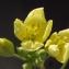 Liliane Roubaudi - Diplotaxis tenuifolia (L.) DC. [1821]