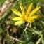 Jean-Claude Calais - Tragopogon pratensis subsp. orientalis (L.) Celak. [1871]