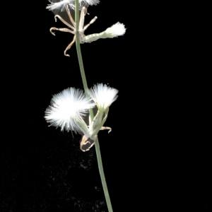 Photographie n°187967 du taxon Chondrilla juncea L. [1753]