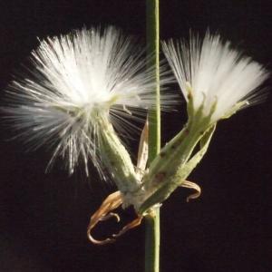 Photographie n°187969 du taxon Chondrilla juncea L. [1753]