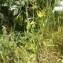 Jean-Claude Calais - Tragopogon pratensis subsp. pratensis