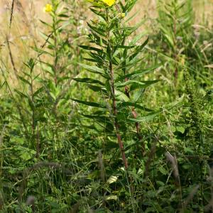 Photographie n°187996 du taxon Oenothera biennis L. [1753]