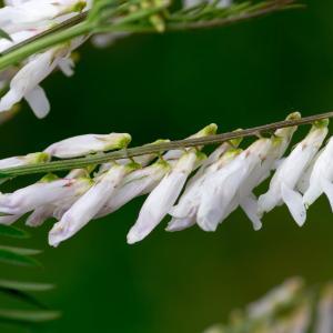 Photographie n°188010 du taxon Vicia cracca L. [1753]