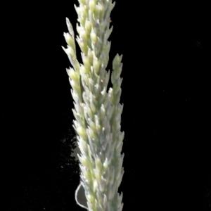 Photographie n°188026 du taxon Sporobolus indicus (L.) R.Br.