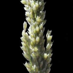 Photographie n°188027 du taxon Sporobolus indicus (L.) R.Br.