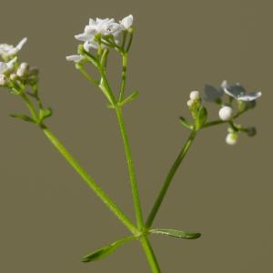 Photographie n°188044 du taxon Galium palustre L. [1753]