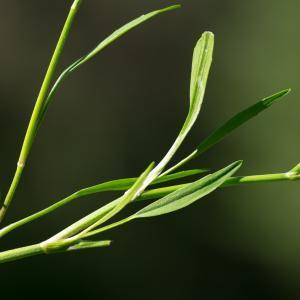 Photographie n°188061 du taxon Ranunculus flammula L. [1753]