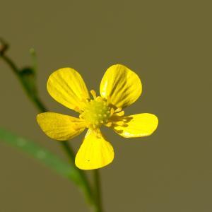 - Ranunculus flammula L.