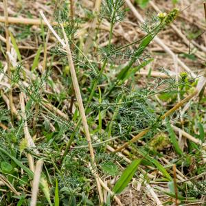 Photographie n°188158 du taxon Tripleurospermum inodorum (L.) Sch.Bip. [1844]