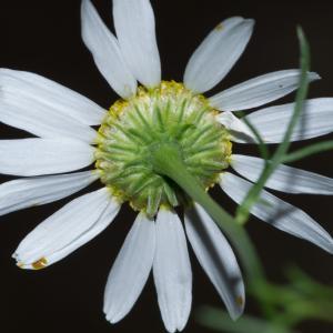 Photographie n°188159 du taxon Tripleurospermum inodorum (L.) Sch.Bip. [1844]