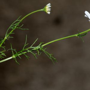 Photographie n°188160 du taxon Tripleurospermum inodorum (L.) Sch.Bip. [1844]