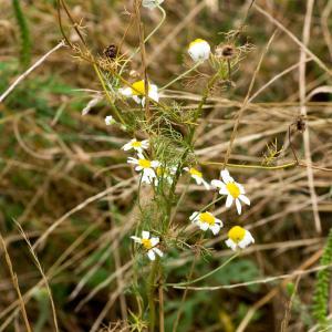 Photographie n°188164 du taxon Tripleurospermum inodorum (L.) Sch.Bip. [1844]