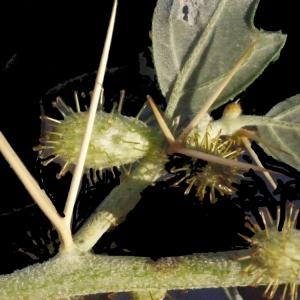 Photographie n°188186 du taxon Xanthium spinosum L. [1753]