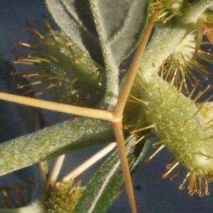 Photographie n°188188 du taxon Xanthium spinosum L. [1753]
