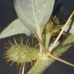 Photographie n°188189 du taxon Xanthium spinosum L. [1753]