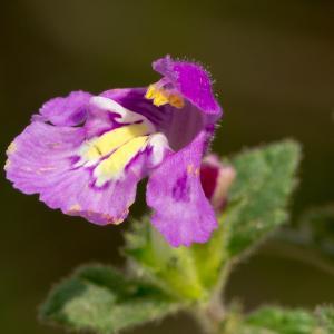 Galeopsis segetum Neck. (Galéopsis des champs)