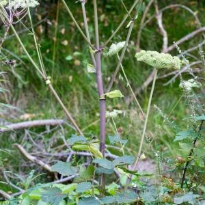 Photographie n°188238 du taxon Angelica sylvestris L. [1753]