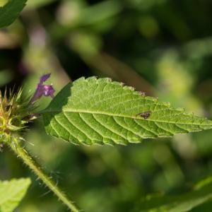 Photographie n°188242 du taxon Galeopsis tetrahit L.