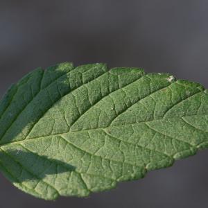 Photographie n°188245 du taxon Galeopsis tetrahit L.