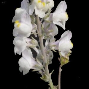 Photographie n°188358 du taxon Linaria repens (L.) Mill. [1768]