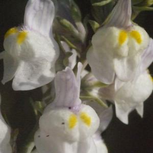 Photographie n°188362 du taxon Linaria repens (L.) Mill. [1768]