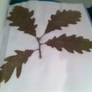 Photographie n°188377 du taxon Quercus robur L. [1753]