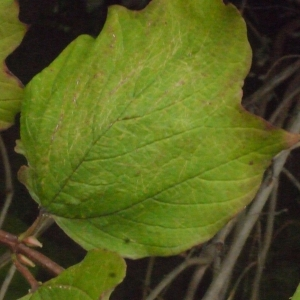 Photographie n°188428 du taxon Viburnum opulus L. [1753]