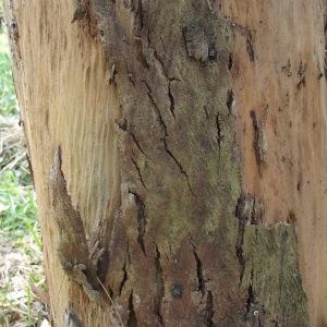 Photographie n°188450 du taxon Eucalyptus gunnii Hook.f.