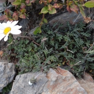 - Leucanthemopsis alpina (L.) Heywood [1975]