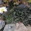 Pol CALIFICE - Leucanthemopsis alpina (L.) Heywood