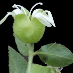 Photographie n°188470 du taxon Silene baccifera (L.) Roth [1788]