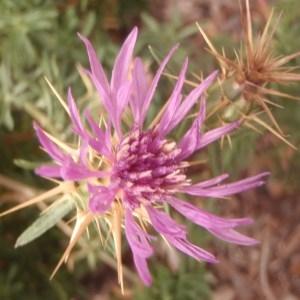 Photographie n°188484 du taxon Centaurea calcitrapa L. [1753]