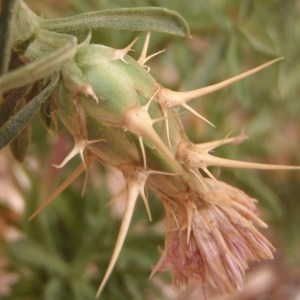 Photographie n°188485 du taxon Centaurea calcitrapa L. [1753]