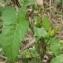 Jean-Claude Echardour - Convolvulus sepium L.