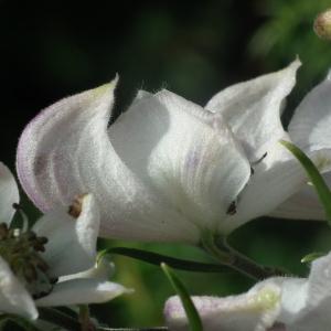 Photographie n°188728 du taxon Aconitum napellus L. [1753]