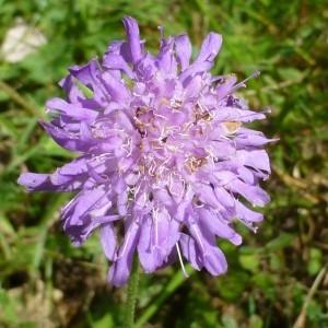Knautia arvensis (L.) Coult. (Knautie des champs)