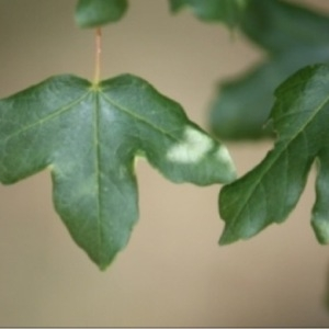Photographie n°188811 du taxon Acer monspessulanum L. [1753]
