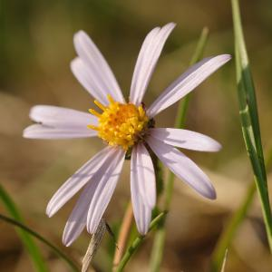 Aster amellus L. (Aster amelle)