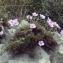 Liliane Roubaudi - Erodium foetidum (L.) L'Hér. [1802]