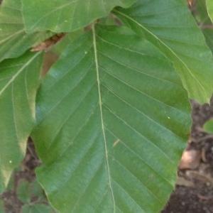 Photographie n°188982 du taxon Fagus sylvatica L.