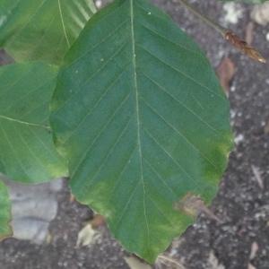Photographie n°188983 du taxon Fagus sylvatica L.