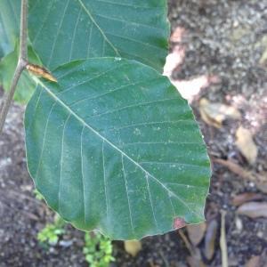 Photographie n°188984 du taxon Fagus sylvatica L.