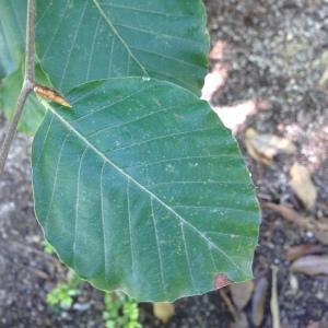 Photographie n°188985 du taxon Fagus sylvatica L.