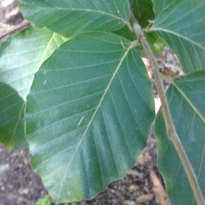Photographie n°188986 du taxon Fagus sylvatica L.